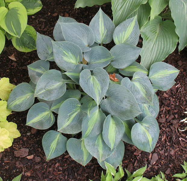 Hosta 'Touch of Class' - 2012 - July 3