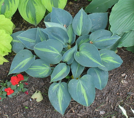 Hosta 'Touch of Class' - 2010
