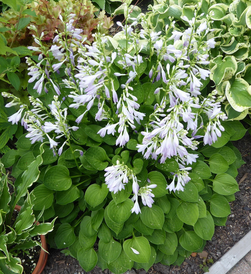 Hosta 'Teaspoon' - 2017 - July 19