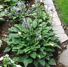 Hosta 'Allan P. McConnell' - 2008 - Aug. 1