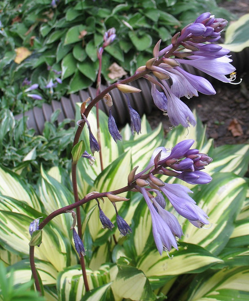 Hosta 'Cherry Berry' - 2011
