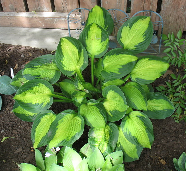Hosta 'Captain Kirk' - 2012 - July 3