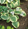 Hosta 'Christmas Pageant' - 2016 - July 7