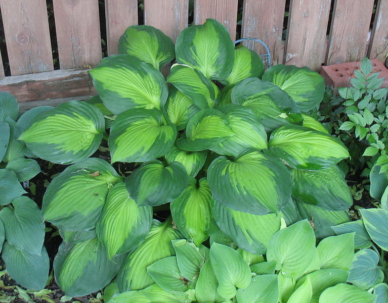 Hosta 'Captain Kirk' - 2013 - June 17