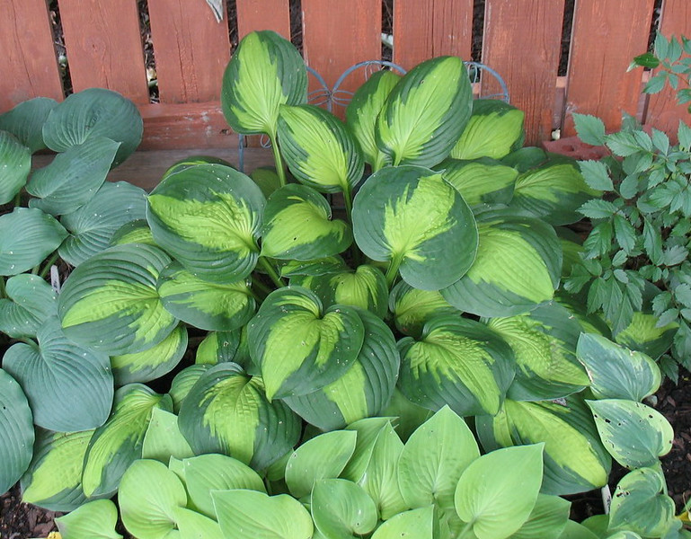 Hosta 'Captain Kirk' - 2014 - July 16