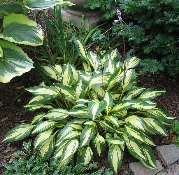 Hosta 'Cherry Berry' - 2016 - Aug. 5