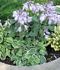 Hosta 'Country Mouse' - 2016 - July 20