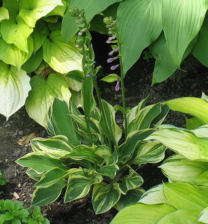 Hosta 'Charlotte's Web' - 2013 - June 27