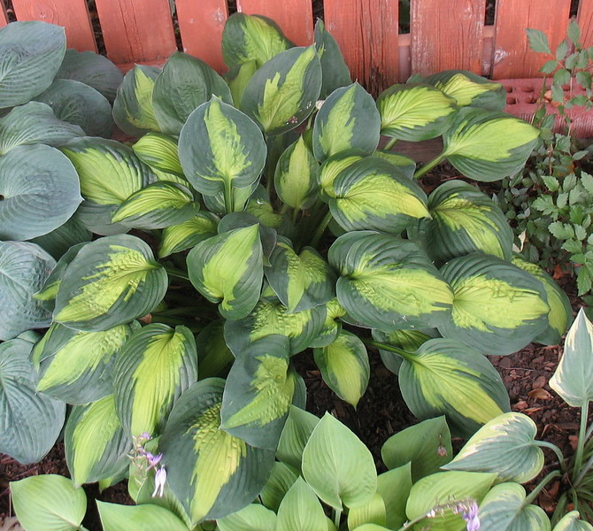 Hosta 'Captain Kirk' - 2016 - July 23