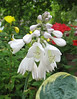 Hosta 'Christmas Pageant' - 2012 - July 3