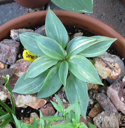 Hosta 'Dorset Clown' - 2012 - July 14