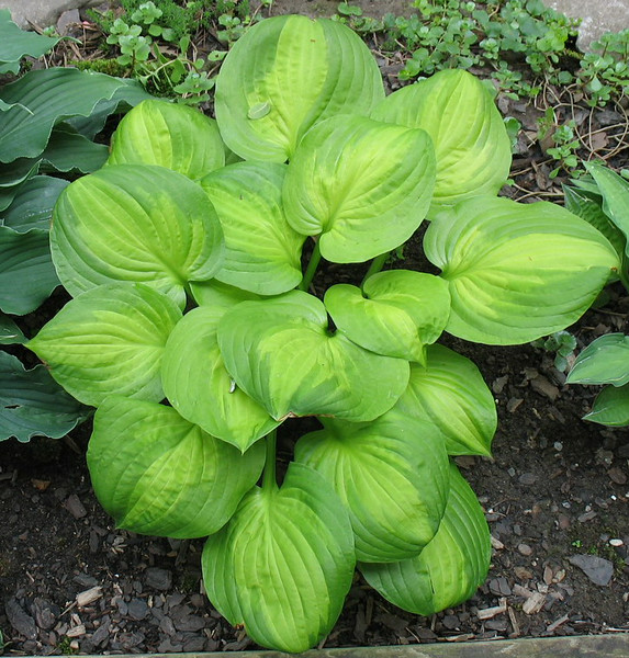 Hosta 'Dancing With Leila' - 2014 - July 8