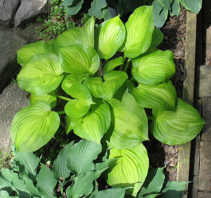 Hosta 'Dancing With Leila' - 2013 - June 25