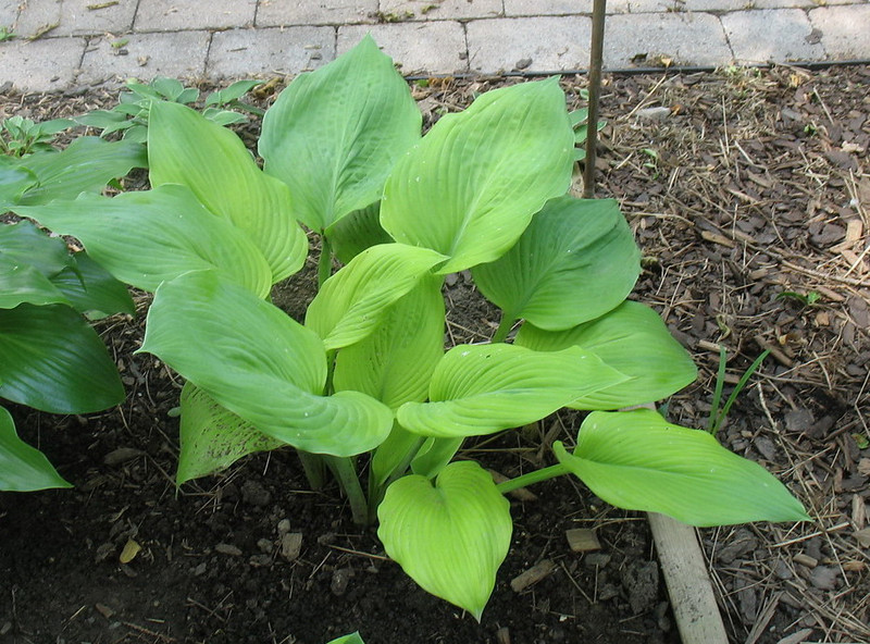 Hosta 'Dee's Golden Jewel' - 2013 - June 25