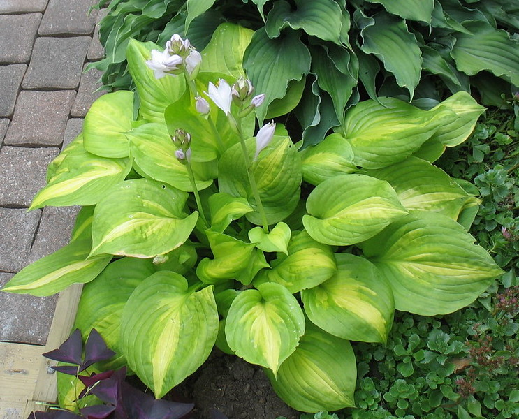 Hosta 'Dancing With Leila' - 2016 - July 23