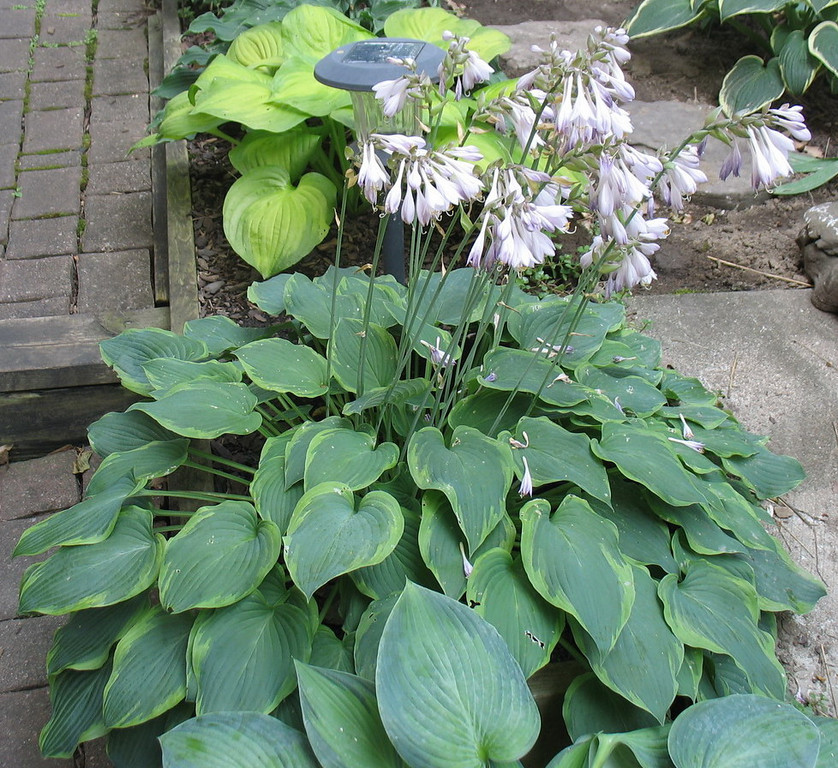 Hosta 'Déjà Blu'  - 2013 - July 23