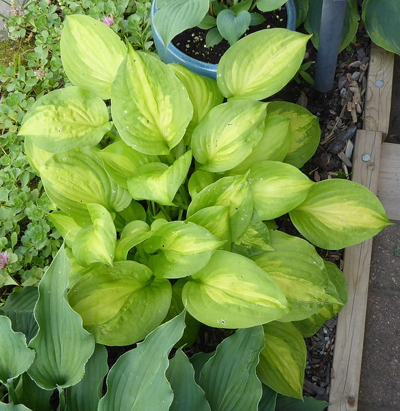 Hosta 'Dancing With Leila' - 2017 - July 9
