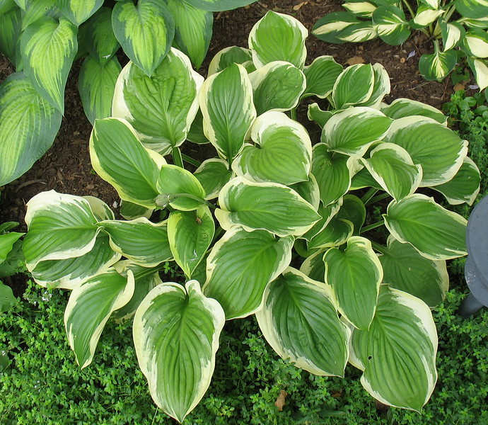 Hosta 'Diana Remembered' - 2016 - July 23