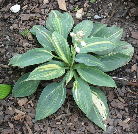 Hosta 'Dorset Clown' - 2014 - July 16