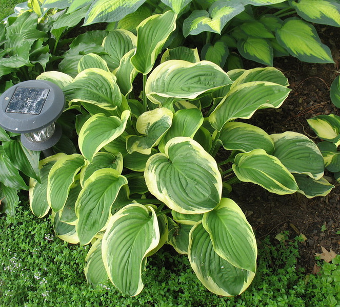 Hosta 'Diana Remembered' - 2012 - June 26
