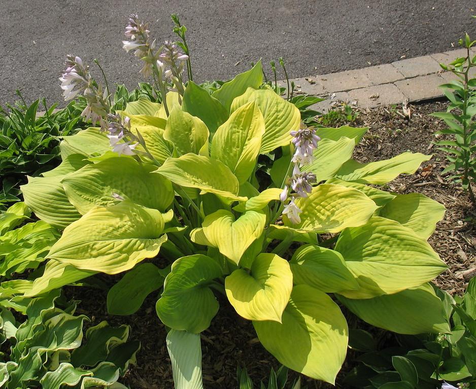 Hosta 'Dee's Golden Jewel' - 2015 - July 3
