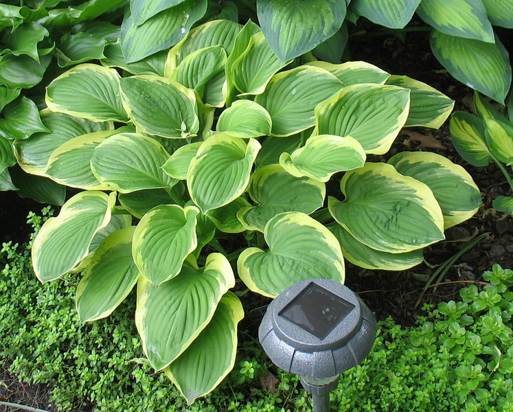 Hosta 'Diana Remembered' - 2013 - June 17