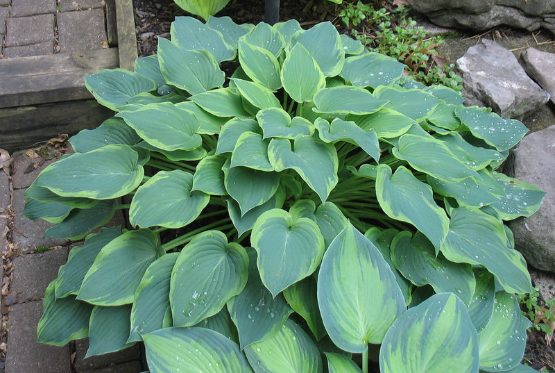 Hosta 'Déjà Blu'  - 2013 - June 17