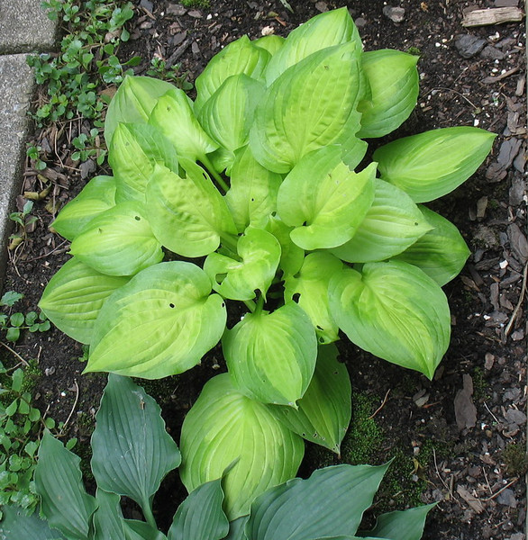 Hosta 'Dancing With Leila' - 2012 - June 26