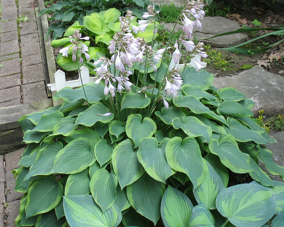 Hosta 'Déjà Blu'  - 2014 - July 16