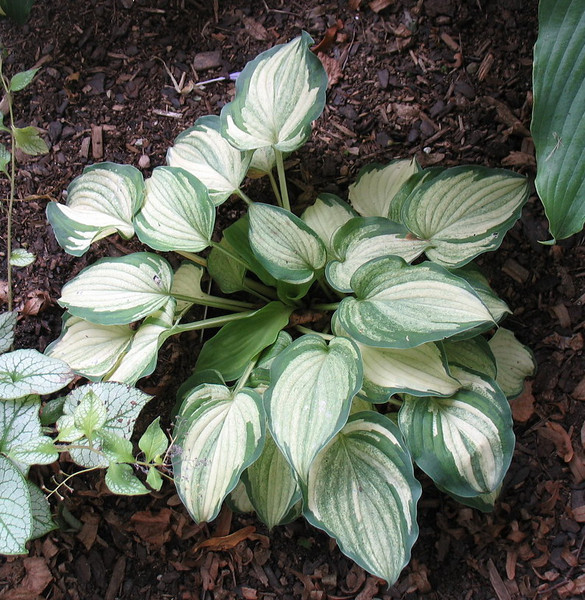 Hosta 'Ghost Spirit' - 2013 - July 23