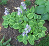 Hosta 'Grand Tiara' - 2012 - July 14