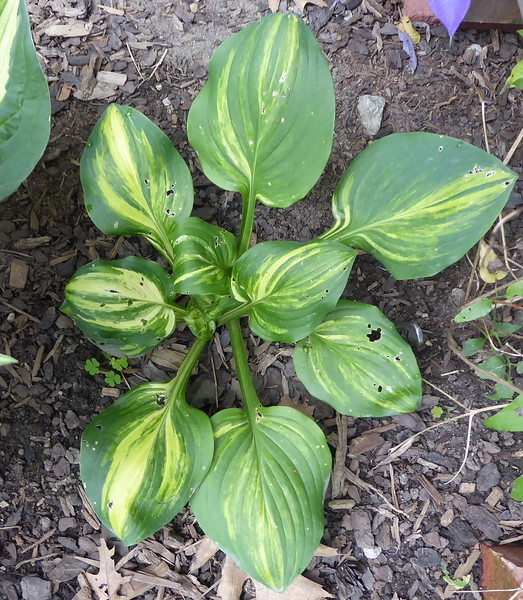 Hosta 'Galaxy' - 2017 -  July 12