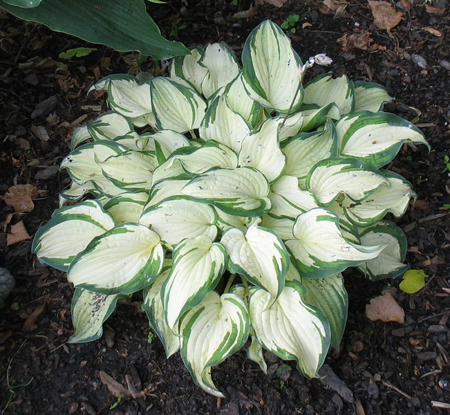 Hosta 'Ghost Spirit' - 2011