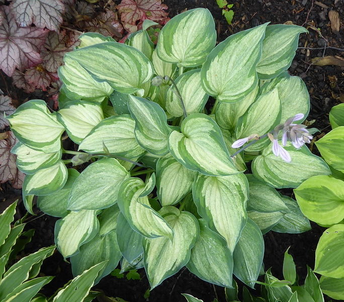 Hosta 'Ghost Spirit' - 2017 - July 1