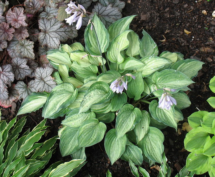 Hosta 'Ghost Spirit' - 2016 - July 13
