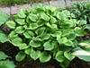 Hosta 'Grand Tiara' - 2014 - July 8