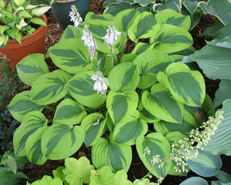 Hosta 'Gemini Moon' - 2014 - July 27