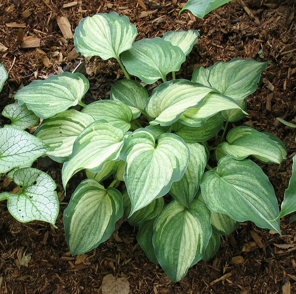 Hosta 'Ghost Spirit' - 2014 - July 8
