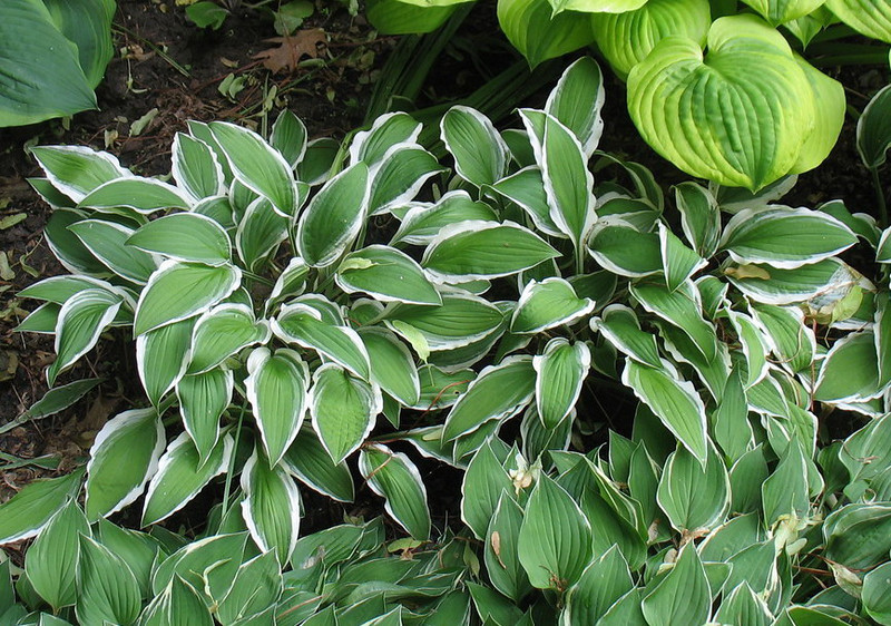 Hosta 'Ginko Craig' - 2013 - June 17