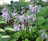 Hosta 'Grand Tiara' - 2013 - July 23