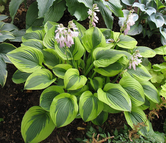 Hosta 'Gemini Moon' - 2013 - July 28
