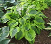 Hosta 'Gemini Moon' - 2016 - July 23