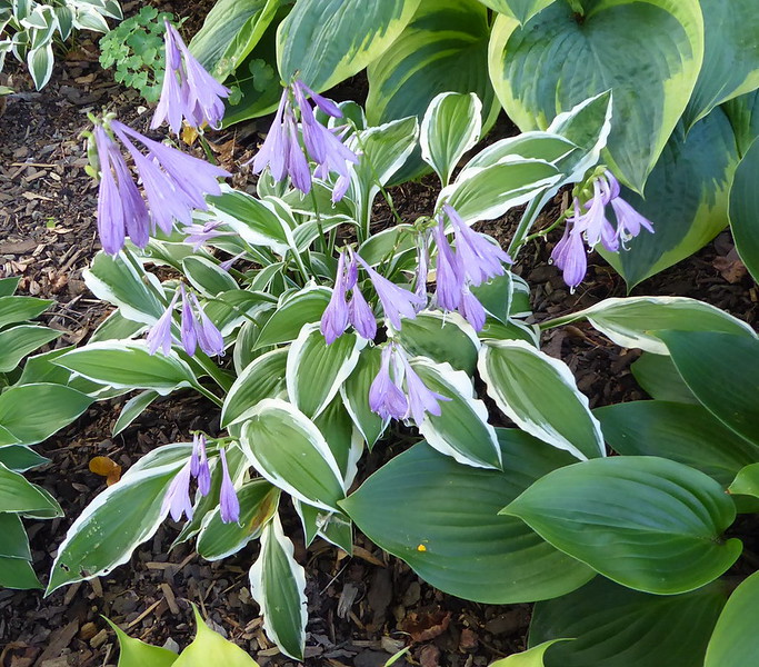 Hosta 'Ginko Craig' - 2016 - Aug. 18