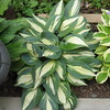 Hosta 'High Society' - 2016 - July 23