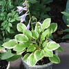 Hosta 'Heavenly Tiara' - 2011