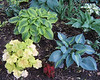 Grouping of hostas, June 2009.