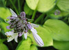 Hosta 'Janet' - 2013 - July 23