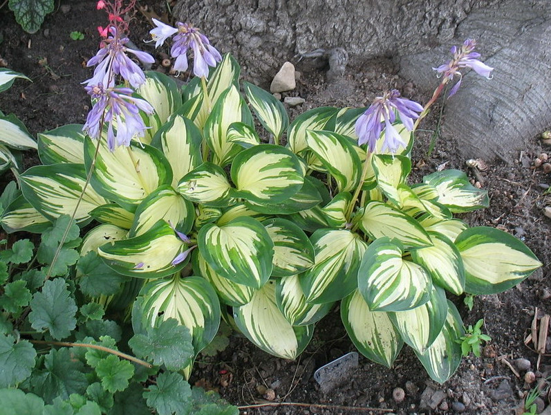 Hosta 'Peppermint Ice' - 2014 - July 27