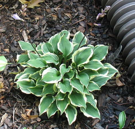 Hosta 'Pixie Vamp' - 2016 - July 20