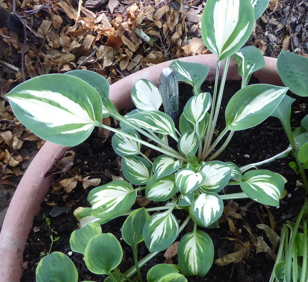 Hosta 'Pandora's Box' - 2017 - July 9